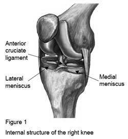 Internal Structure of The Right Knee
